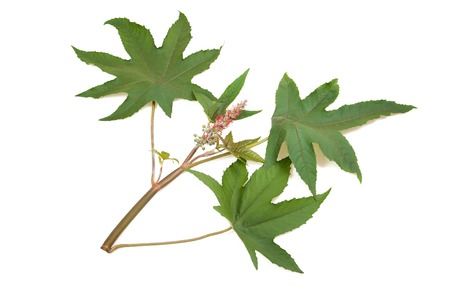 purgative: castor branch with  leaf  flowers and seeds Stock Photo