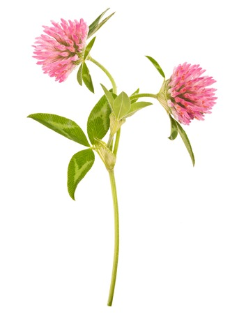 trifolium:  clover plants with flowers isolated on white