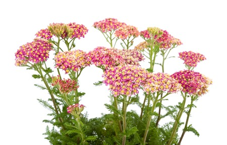 yarrow: Milfoil branches with flowers isolated  on a white background Stock Photo