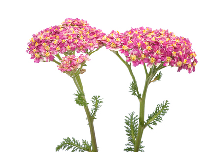 Milfoil flowers isolated  on a white background photo