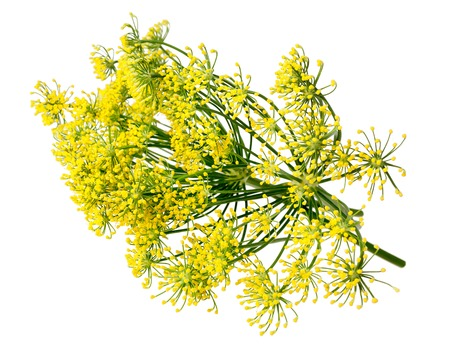 fennel seeds: Wild fennel flowers isolated on white background