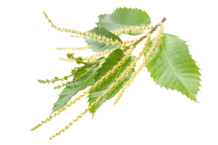 Chestuts branch with catkins isolated on white Stock Photo