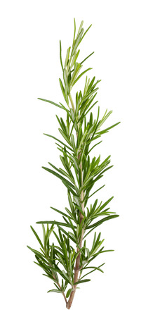 fresh rosemary sprig isolated on white background photo