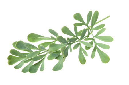 rue: Rue branch isolated on white Stock Photo
