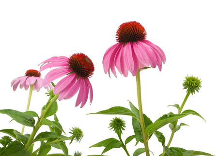 coneflowers: Purple Coneflowers isolated on white background