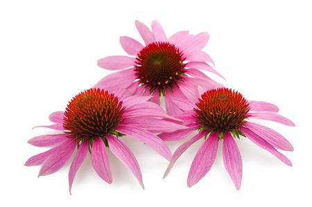 echinacea: Three sunflowers isolated on white