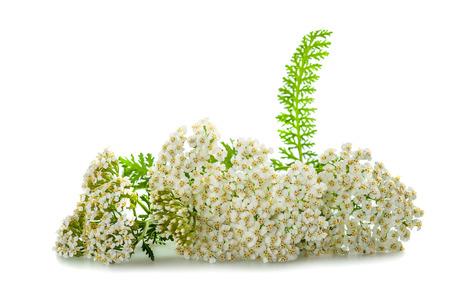 yarrow flowers isolated on white background. photo