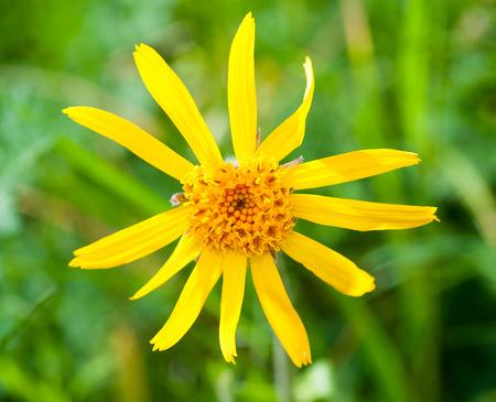 Arnica: Arnica montana, yellow mountain flower