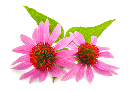 coneflowers: Coneflower with leaves  isolated on white background