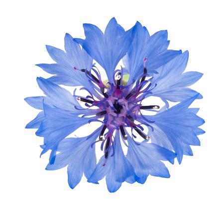 Blue cornflower isolated on white background