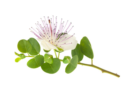 Caper branch with flower and fruits  isolated on white
