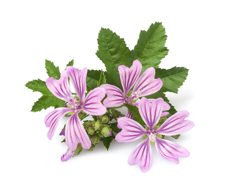 mallow flowers and leaves  isolated  on white background Stock Photo