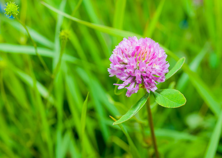 trifolium: clover plants with flowers on blurred background