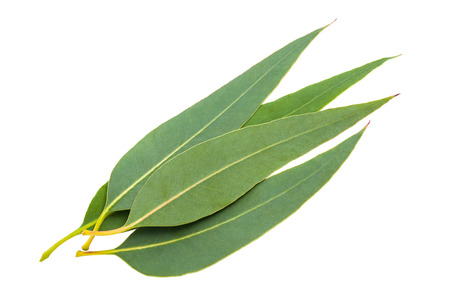 leaf close up: eucalyptus leaves isolated on white background