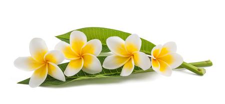 흰색에 고립 된 잎 frangipani 꽃
