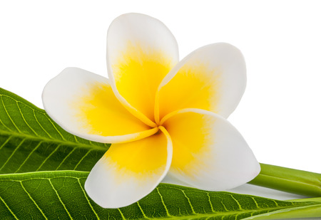 Frangipani flower with leaves isolated on white photo