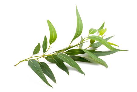 eucalyptus branch isolated on white background Foto de archivo