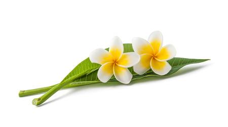 Frangipanibloemen met bladeren geïsoleerd op wit