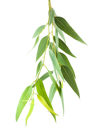 hojas de arbol: rama de eucalipto aisladas sobre fondo blanco Foto de archivo