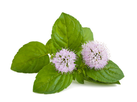 mentha: mint flowers isolated on white background Stock Photo