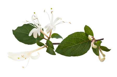 kamperfoelie Sprig met witte bloemen en groene bladeren geïsoleerd op een witte achtergrond Stockfoto