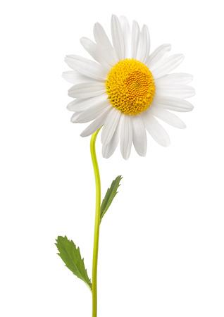Marguerite blanche avec tige isolé sur fond blanc Banque d'images