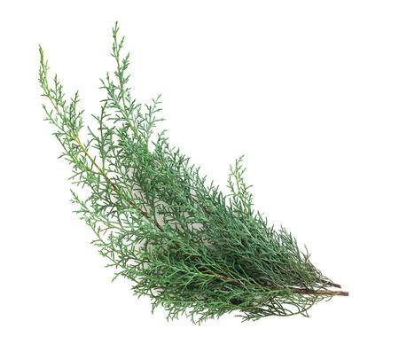 노송 나무 나뭇 가지 흰색 배경에 고립