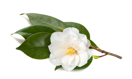 Camellia tak met bloem op een witte achtergrond