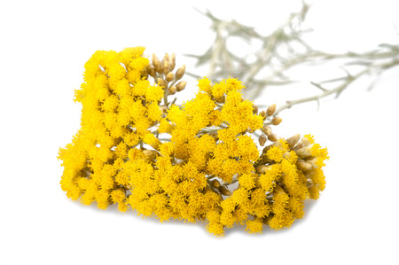 colorful flowers: Immortelle (Helychrysum) isolated on white background Stock Photo