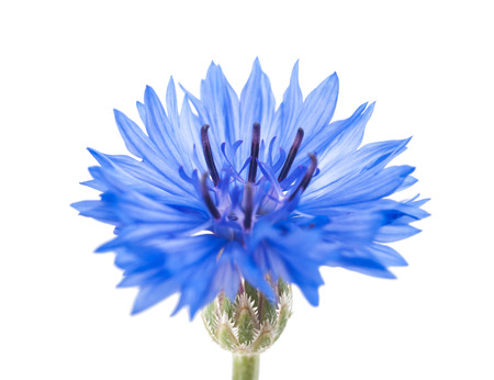 bachelor s button: Blue cornflower isolated on white background