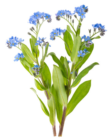 forget me not: Beautiful Forget-me-not (Myosotis) Flowers on White Background Stock Photo