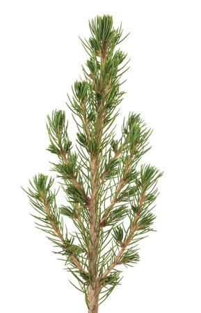 white spruce sprig  isolated on white background Stock Photo