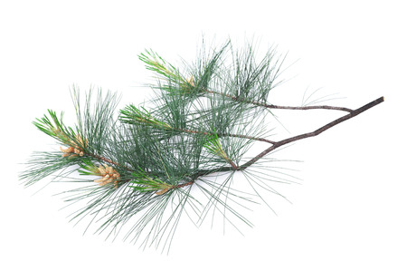 Swiss stone pine branch isolated on white
