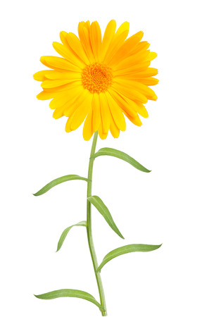 daisys: Calendula. Marigold flower with leaves isolated on white