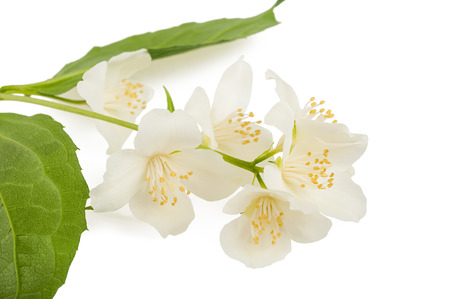 philadelphus: Orange blossom (orange blossom) isolated on white background Stock Photo