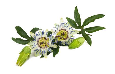 情熱の花 (トケイソウ) 白い背景に分離されました。 写真素材