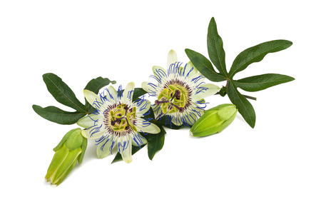 Passion flower (Passiflora) isolated on white background. Stock Photo