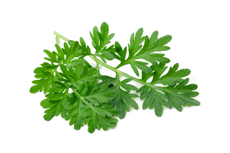 Wormwood (absinthium) Isolated on White Background