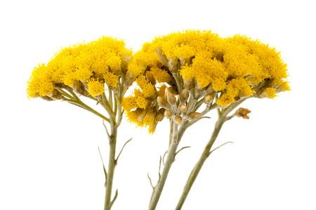 イモーテル (Helychrysum) は、白い背景で隔離 写真素材