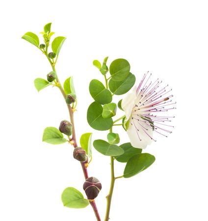 枝に花と果物を白で隔離のケーパー 写真素材