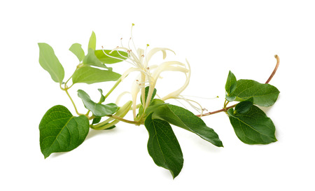 honeysuckle: honeysuckle; honeysuckles; woodbine; background; flower; flowers; herbal; bloom; tatarica; homeopathy; isolated; lonicera; medicine; plant; scented; vertical; white; yellow; leaf; leaves; scent; inflorescence; blossom; branch; flora; floral; isolated on w Stock Photo