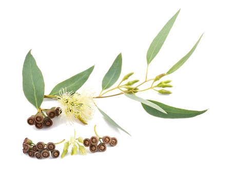 leaf: eucalyptus branch with flowers and seeds isolated on white