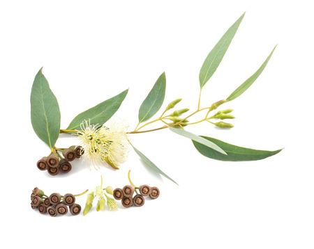 fondo para tarjetas: rama de eucalipto con flores y semillas aisladas en blanco