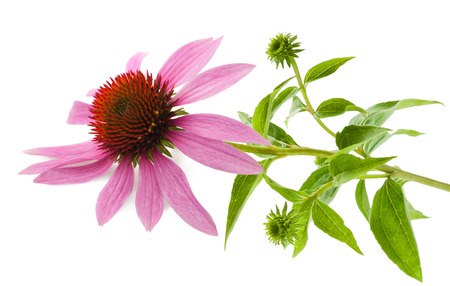 Coneflower wit leaves  isolated on white background Banco de Imagens