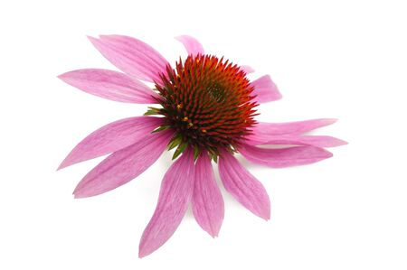 coneflower: Coneflower  isolated on white background