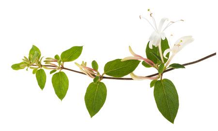 白い花と白い背景に分離した緑の葉と小枝スイカズラ