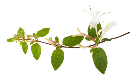 honeysuckle: honeysuckle Sprig  with white flowers and green leaves isolated on white background