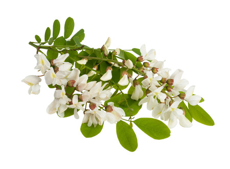 langosta: Rama algarrobo negro con flores blancas aisladas en blanco