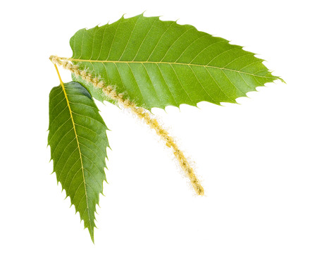 Chestnut leaves and catkins isolated on white Imagens - 38942732