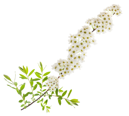 crata�gus: Espino (Crataegus monogyna) rama con flores aisladas sobre un fondo blanco Foto de archivo